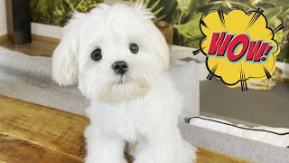 We surprised our Maltese puppy