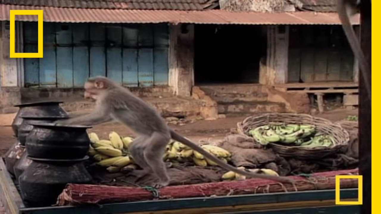 Drunk Monkeys | National Geographic