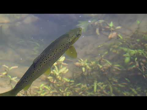 Brown Trout Rising On The Goulburn River, Thornton, Victoria, Australia.
