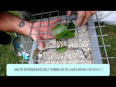 Koen Vanhoutte| Navicula | Waterlily Meets Notorious Koi 001