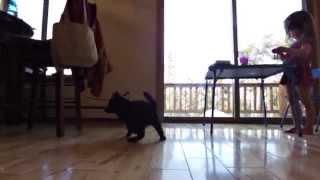 """This is a video of Kai Ken (甲斐犬) puppies """"Hazuki"""" and """"Kiko"""" pla..."""