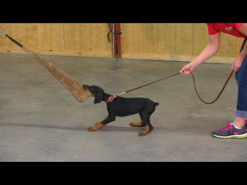 9 Wk Doberman Puppy 'Evie' Early Protection Training Evaluation Development For Sale