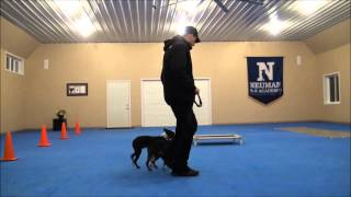 Lila (boston Terrier) Dog Training Boot Camp Video