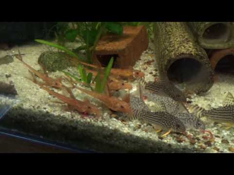 L10A Red Lizards Love Bloodworms