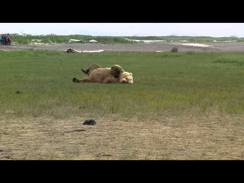 Grizzly Bear Rolling and Playing in Grass - Sasquatch Alaska