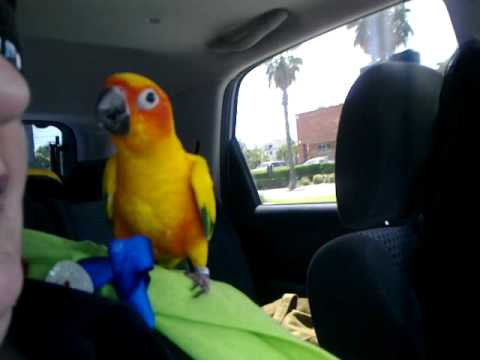 Sun Conure sings Bad to the Bone