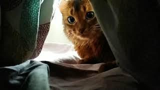 Моя прелесть! Кот Сомали. Cat somali.