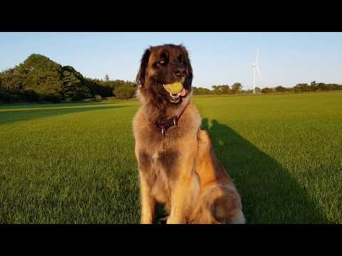 4 MONTH OLD TO 3 YEAR OLD LEONBERGER DOG