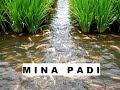 Mantap!!! Mina Padi, Panen Ikan dan Padi di Sawah