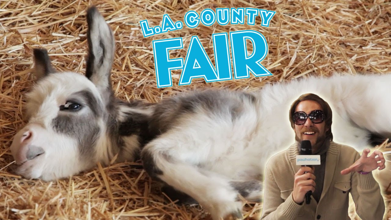 Honey Badger Guy Visits The LA County Fair