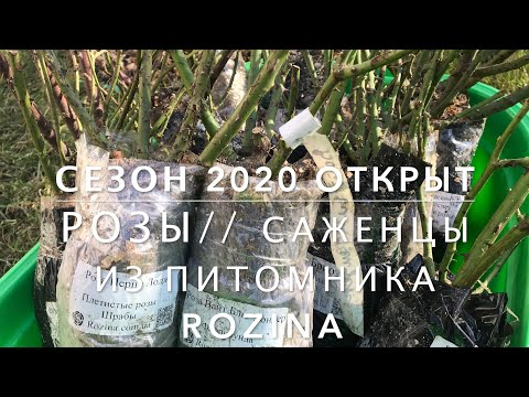ROSE//СЕЗОН 2020 ОТКРЫТ//Розы//Саженцы из питомника ROZINA