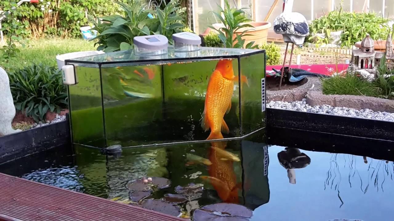 Aquarium 500L Im Teich Irrgendwie Muss Es Mit Den Fischis Wachsen