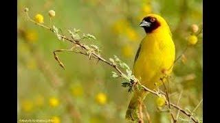 تكاثر طائر الحباك النساج في اخر غابات غاف الرياض