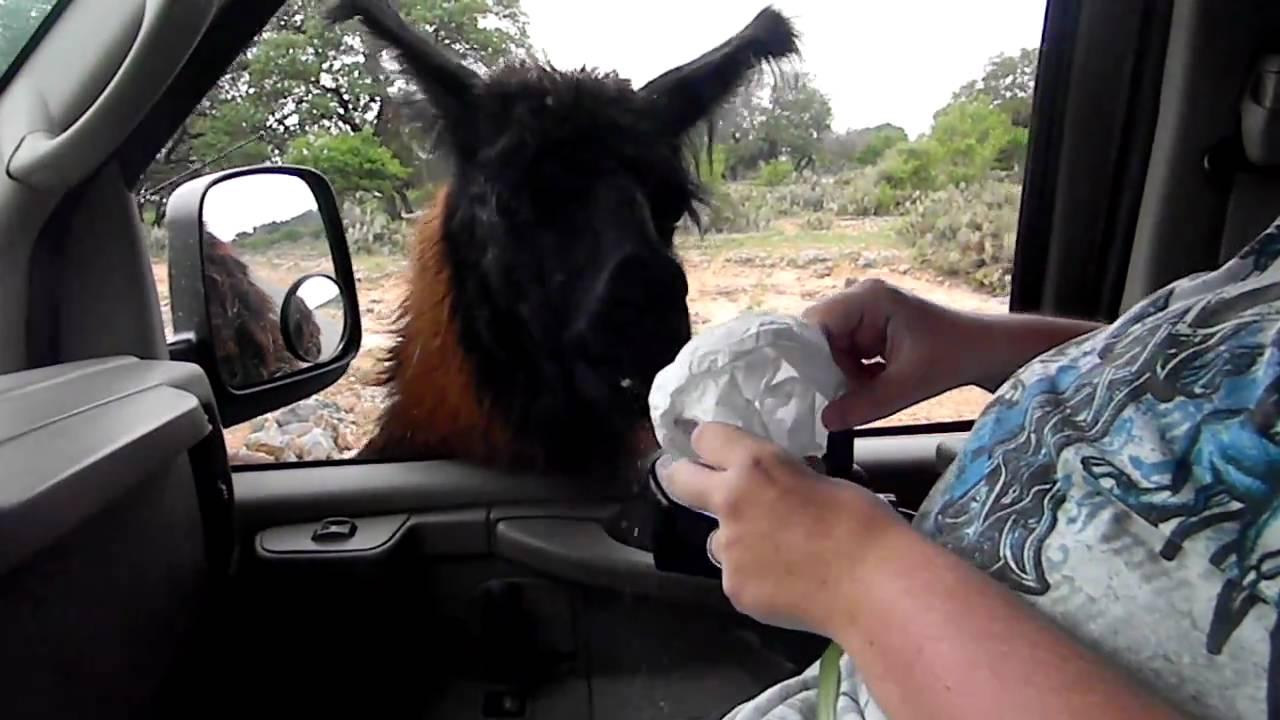 Drive Thru Safari In San Antonio Tx Part 3 Alpaca Youtube
