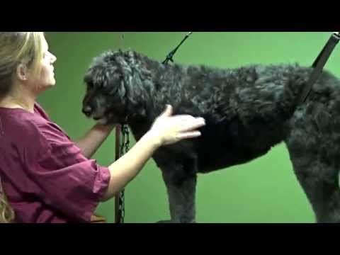 How to Groom a Doodle (Natural & Puppy Cut) - Do-It-Yourself Dog Grooming