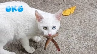 Lol The Warrior White Cats Catching Snake In Real Life Animals Video