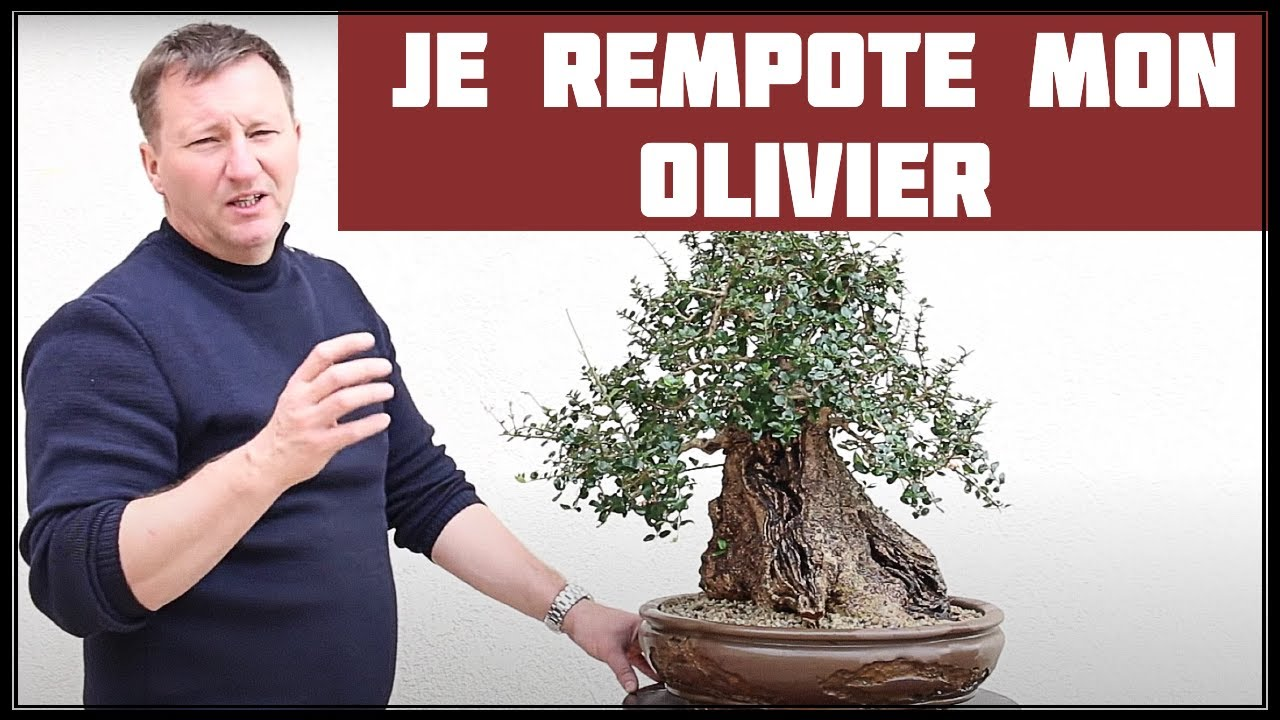 rempotage d 39 un olivier nejikan bonsai youtube. Black Bedroom Furniture Sets. Home Design Ideas