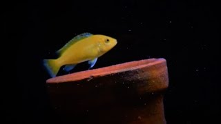 Juvenile Electric Yellow Lab Cichlid Grow Out Tank