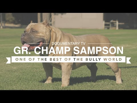 AMERICAN BULLY GR. CH. SAMPSON ONE OF THE BULLY WORLD'S BEST