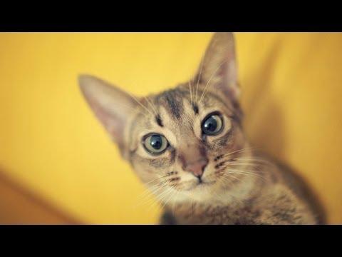 Абиссинская кошка@Abyssinian cat