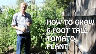 How To Grow A 6 Foot Tall Tomato Plant