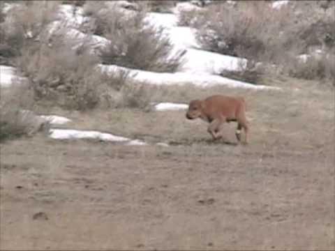 Newborn Yellowstone Bison