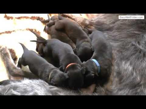 Amazing litter v.d. Flevomare Deerhounds - week 03