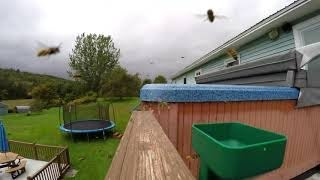 Yellow jacket wasps completely swarm & invade hot tub