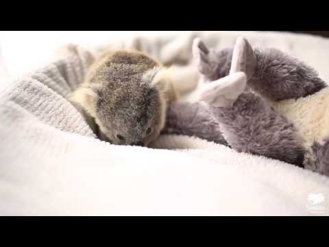 Adorable baby koala poses for first photo shoot