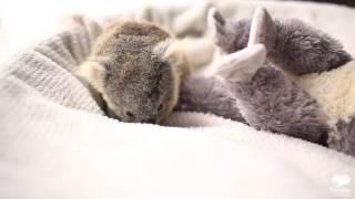 Adorable baby koala poses for first photo shoot