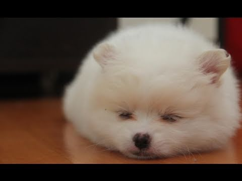 Top Puffy Chubby Adorable Dog - hqdefault  Gallery_623167  .jpg