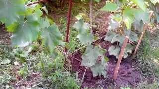 Виноград – календарь работ в винограднике (полив, удобрение) Сезонные работы в июле.(, 2015-07-16T15:48:58.000Z)