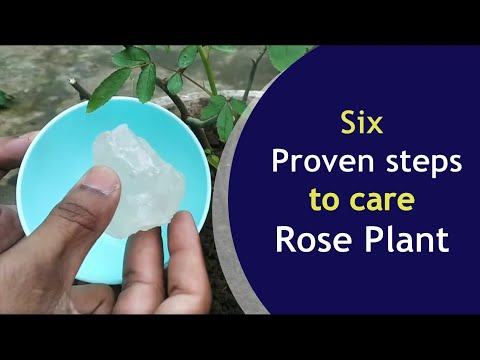 Rose tree care , Rose plant maintenance in winter for bush