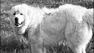 """Your GREAT PYRENEES, livestock guardian dog, or Large Breed Dog may have PANO """"IF"""" he does this….."""