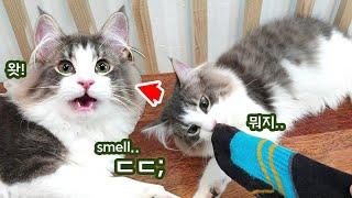 집사 양말 냄새에 충격받은 고양이 (f: 플레멘 반응)