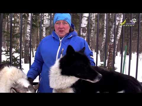 Аляскинский хаски vs Чукотская ездовая