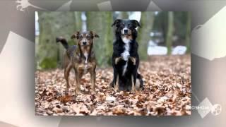 Austrian Shorthaired Pinscher Dog breed