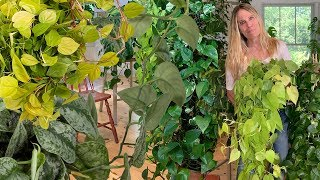 HOW I GROW MASSIVE POTHOS AND PHILODENDRON VINES:  TIPS YOU NEED TO KNOW!