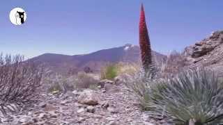 Tajinaste en flor (Teide) - Tower of Jewels Tenerife