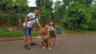 Anjing pitbull pintar - Mama Tua (Tante) gue lari saat ketemu Pablito ,#part 1