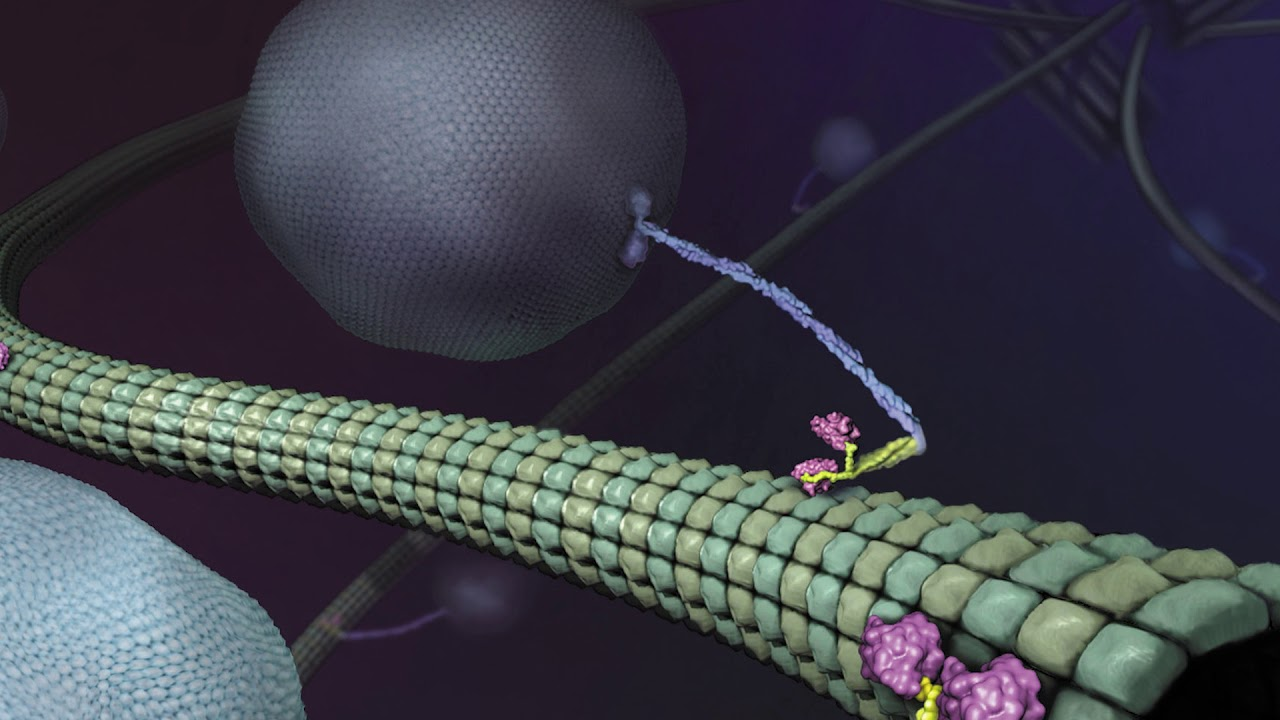 Download What is Kinesin? Ron Vale Explains