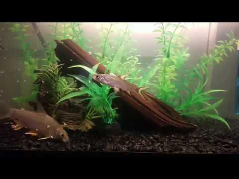 Tinfoil Barb, Bala Shark, Pictus Catfish, And Tetras Eating Brine Shrimp