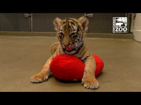 Tiger Cubs Playing with Dog Blakely - Cincinnati Zoo