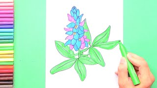 How to draw and color Bluebonnet - State Flower of Texas