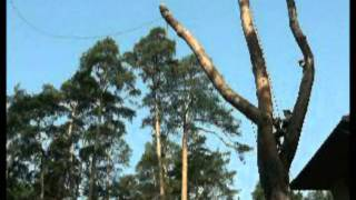видео Удаление, валка и спил деревьев: по частям, с контролируемым спуском, с автовышки