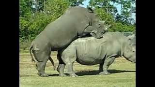 rhino mating ผสมพันธุ์แรด