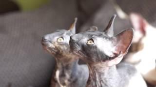 Котята корниш рекс – неуёмная энергия и неимоверное любопытство
