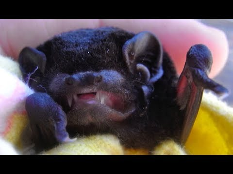 Rescuing a microbat in a house:  this is Eulah