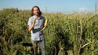 Popped Secret: The Mysterious Origin of Corn — HHMI BioInteractive Video
