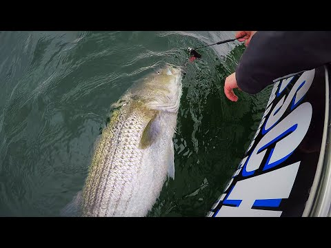 How To Catch Stripers With Eels. Simple Rigs And Methods YOU SHOULD KNOW!